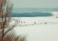Zima-sarny powracające do Puszczy Piskiej